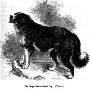 122._Larger_Newfoundland_Dog