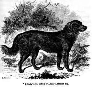 126._St._Johns_or_Lesser_Labrador_dog