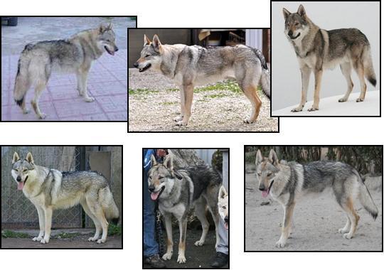 Emba, naboo, Olcan, Morrigan, Elpasso y Jaud, algunos de los cachorros de Eligo Z Peronowki