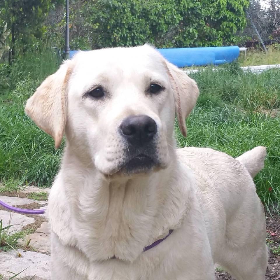 Queijeiro Mina – Perro Lobo Checoslovaco y Labrador Retriever